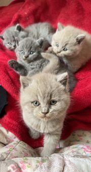 BKH BLH Kitten abzugeben