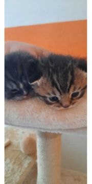 2 Scottish fold Kitten Kater