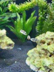 Erbsenkugelfische