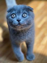 Russian Blue BKH Scottish Kitten