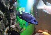 Malawis barsche Firefish