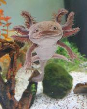 Axolotl - Eier von Mela Copper