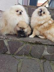 Pomeranian Zwergspitz Welpen von eigener