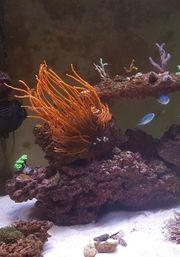 Clownsfische Kupferanemone