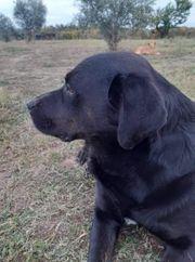 wunderschöner Labradormix