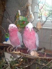 2 Rosa kakadu papageien