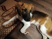 Beagle Jack Russel Mischlingsrüde