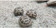 Russische Vierzehen Landschildkröte