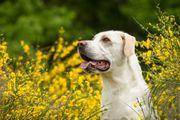 Labrador Mischling