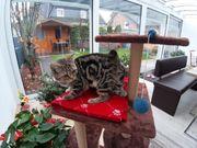 Bkh Kitten mit Stammbaum Black-