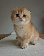 Scottisch Fold Kitten BKH Kitten