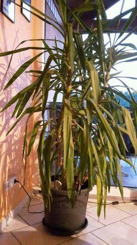 Pflanzen - Yucca Palme im Pflanzentopf Riesen-Palmlilie