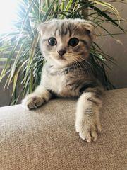 BKH Scottish Fold Katerchen Kitten
