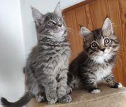 Reinrassige Maine Coon Kitten aus