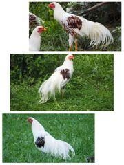 Bruteier Yokohama Hühner große Rasse