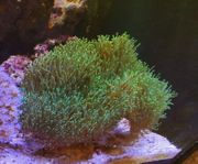 Sehr schöne Sarcophyton Pilzlederkoralle grün