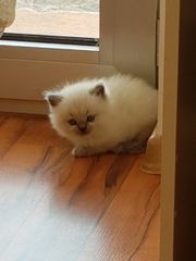 BKH babykatze sucht ein liebevolles