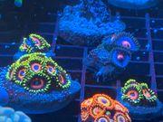 Korallen Meerwasser Zoanthus Euphyllia LPS
