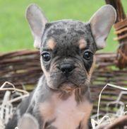 süße Knutschis Französische Bulldogge mit