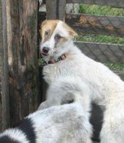 Rüde Junghund 1 5 Jahre