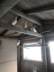 Mittelhäuser Tauben weiß 4 Paare