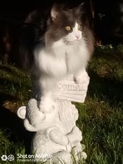 Main Coon Deckkater Charly 7