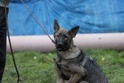 Schäferhund Junghund