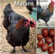 Marans Eier echte französische kein
