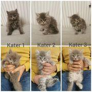 BKH BLH Kitten Britisch babykatzen