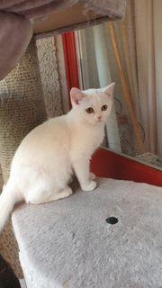 BKH Perser Kitten Babykatzen