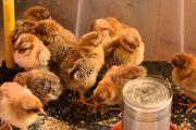 Orpington Hennen Hahn oder Küken