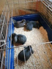 Zwerg-Widder Kaninchen