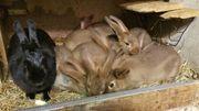 Kaninchen Stallhasen Hasen