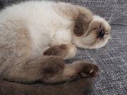 scottisch bkh kitten
