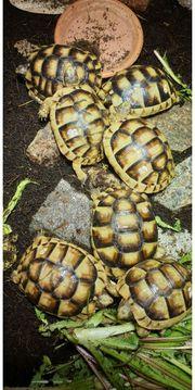 Wunderschöne griechische Breitrandschildkröten Landschildkröte Nachzucht