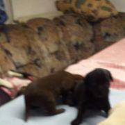 labrador welpis junge labrador-retriever