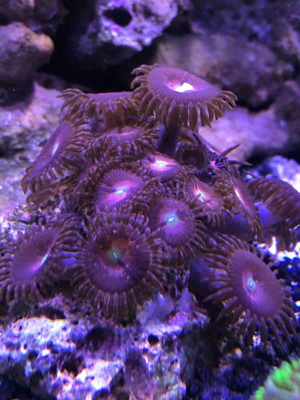 Zoanthus Alien Explosion Krustenanamone Meerwasser