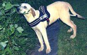 Labrador Retriever Rüde welpe