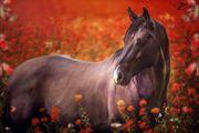 Frühbucherdecksprung von Grullo Quarter Horse