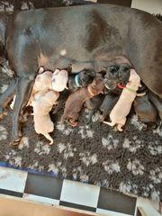 Labrador Bulldogge Mix Welpen bullador