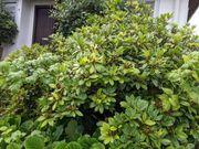 verschiedene Rhododendren