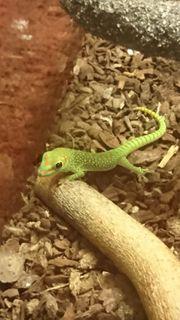 Große Madagaskar Taggeckos 0 0