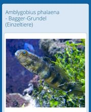 Bagger grundel Pärchen Amblygobius phalaena