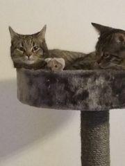 2 zahme verspielte Katzen ab