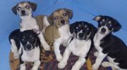 Jack Russell Terrier reinrassige Welpe