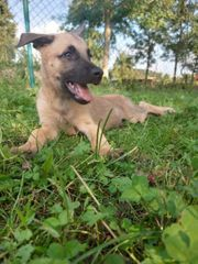 malinois-schäferhund welpen