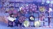 Meerwasser Korallen Ableger Zoanthus Zoa