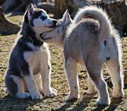 Super süße Siberian Husky Welpen