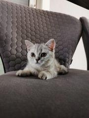 kitten Britisch Kurzhaar Babykatze