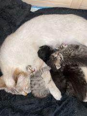 Bengal - Heilige Birma - Mix - Kitten